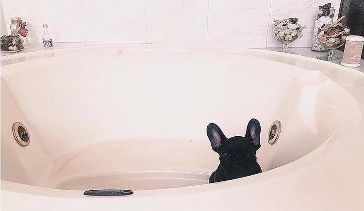 Comment laver son bouledogue français : l'indispensable à savoir !
