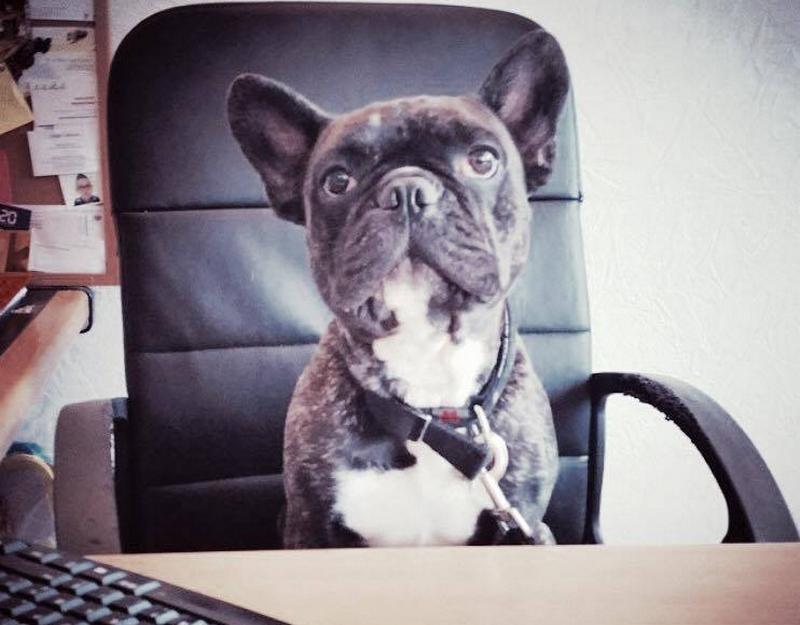 Peut-on emmener son bouledogue au travail ?