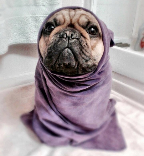 Bien sécher votre bouledogue français après l'avoir lavé est essentiel pour éviter que de l'humidité reste dans ses plis. (Ici en photo : Javanez, la chienne de Laureen)