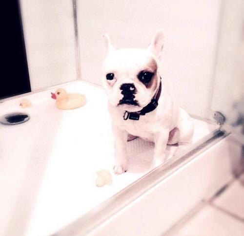 Douche ou baignoire, peu importe pour laver son bouledogue français ! (Ici en photo : le bouli de Laura)