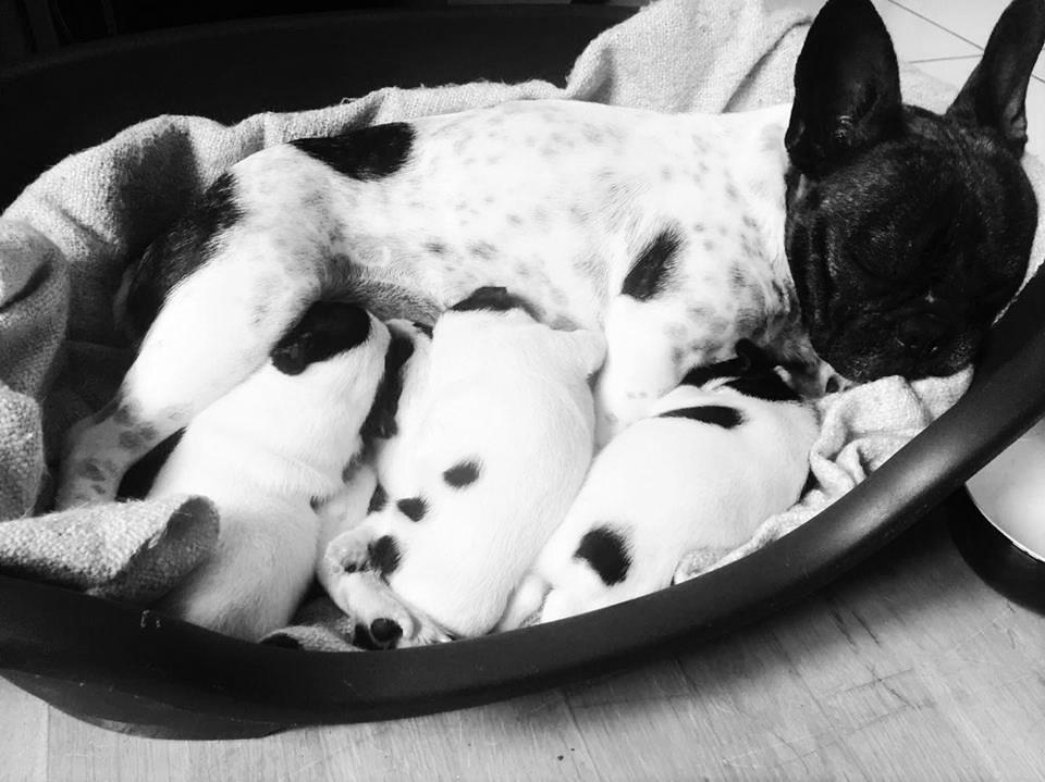 Cercle européen du bouledogue français : rencontre amicale en alsace - actualité - chien - SantéVet