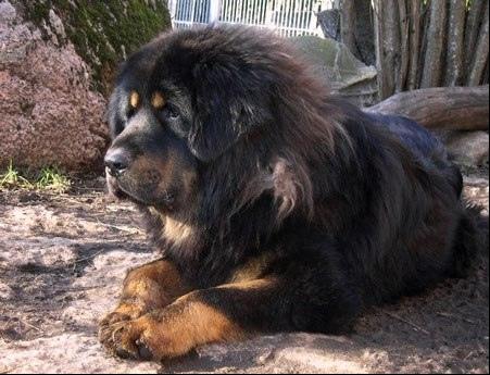 Dogue du Tibet : le lointain ancêtre du bouledogue français